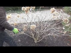 Jak ciąć hortensję bukietową - YouTube Winter Garden, Plants, Garden, Outdoor, Gardening Tips