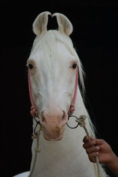 Marwari horse (indigenous horses of india) Horse Head, Horse Art, Marwari Horses, Most Beautiful Horses, Horse Quotes, White Horses, Horse Breeds, Magical Creatures, Equestrian Style