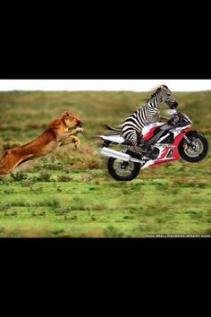 Funny Motorcycle zebra gets away from lion