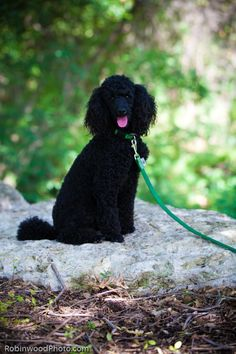 Black Miniature Poodle. This dog looks like my doggy!! (but mine's cuter!! :) )