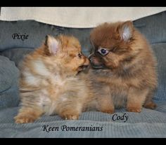 Awww! It's puppy love! These are orange and chocolate colored sable examples. They aren't available. For information contact www.keenpomeranians.com