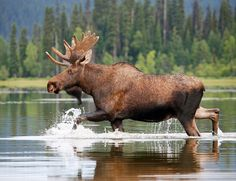 Wild bull moose, Canada (the country's birthday! Moose Deer, Moose Hunting, Bull Moose, Moose Lodge, Pheasant Hunting, Turkey Hunting, Archery Hunting, Beautiful Creatures, Animals Beautiful