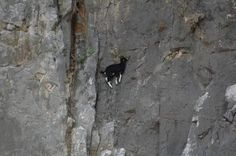 Jaw-Dropping Photos Show How Far Mountain Goats Will Go To Lick Salt - The Dodo