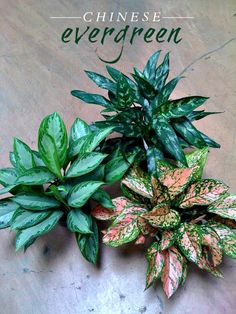 Chinese Evergreen.  One of the best air filtrating plants available. This easy-to-care-for plant can help filter out a variety of air pollutants and begins to remove more toxins as time and exposure continues. Even with low light, it will produce blooms and red berries.