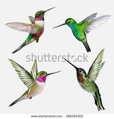 Hummingbird Stock Photos, Images, & Pictures | Shutterstock