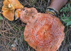 Saffron Milk Cap (Lactarius Deliciosus) in The Pacific Northwest