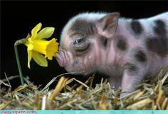 Daffodil pig