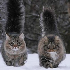 Kitties with tails flying in the snow. Later their paw pads and ears will be cold.