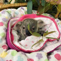 It doesnt get much cuter than this! #happyfriday #savethekoala #australianfauna #goecowithtrinature #koala