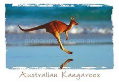 Australian Kangaroo, PC170
