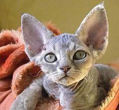 Chat Devon Rex - Devon Rex cat chaya-devon.com