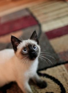 """Siamese Kittens * * """" Me wuz inspectin' meez perimeter, justs in case."""" - Find out which fuzzy feline you best match up to based on your personality Siamese Kittens, Cute Kittens, Cats And Kittens, Black Kittens, Pretty Cats, Beautiful Cats, Animals Beautiful, Pretty Kitty, Hello Beautiful"""