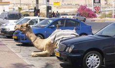 Camels parked in disabled bay. (Only in Dubai)