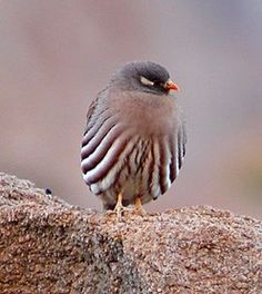 The localized Sand Partridge frequents the rocky mountains of Sinai (Dave Farrow)