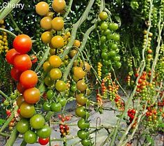Cottage Farms 2-N-1 Mighty Mato Grafted Cherry Tomatoes Auto-Delivery
