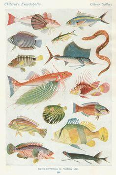 Antique Print, COLOUR FISH Chart 2 1930s beautiful wall art vintage color lithograph illustration sea ocean creatures bookplate. $9.90, via Etsy.