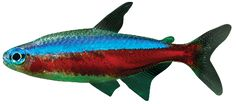 Neon Tetra, Tropical Fish, Image Search, Pets, Animals, Neon, Animales, Animaux, Exotic Fish