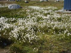 Greenlandic Cotton Field by stifle.deviantart.com on @deviantART