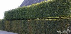 Carpinus betulus (haagbeuk leivorm)i i want! Garden Fencing, Garden Pool, Cosy Garden Ideas, Vertical Green Wall, Espalier, Topiary Garden, Hedges, Garden Planning, Garden Inspiration
