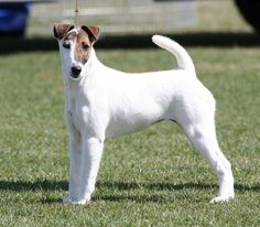 ♥DS♥ 309 Smooth Fox Terrier