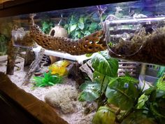 Hermit crabs are tree climbers by nature so maximizing all the vertical space in your tank will provide them with a more enriching and stimulating environment. Hermit Crab Cage, Hermit Crab Homes, Hermit Crab Habitat, Hermit Crabs, Reptile Rescue, Reptile Habitat, Halloween Crab, Crab House, Class Pet