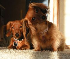 Can you tell who's the boss😂😂! Cute Baby Animals, Animals And Pets, Dashund, Baby Dachshund, Miniature Dachshunds, Sausage Dogs, Pet Id, Weiner Dogs, My Baby Girl