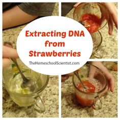 Kid Science Experiment: Extract DNA from Strawberries Kid Science, Plant Science, Middle School Science, Science Classroom, Science Fair, Science Lessons, Science Education, Teaching Science, Science Activities