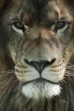 Lion d'Asie by EliseJ-Photographie.deviantart.com on @DeviantArt