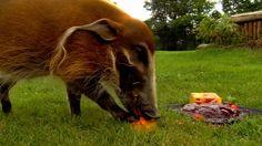 Red river hog birthday celebration: Cincinnati Zoo pig devours his birthday cake (video). Birthday Cake Video, Red River Hog, Cincinnati Zoo, Space Station, Loneliness, Astronaut, Birthday Celebration, Robot, Pigs