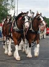 Clydesdale Team of horses