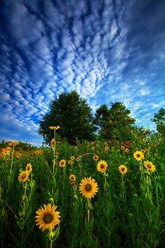 ~~Reaching for the Sun ~ Sunflowers reaching for the sun near Indianola, Oklahoma by Todd Tobey~~