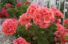 Love Flowers, Silk Flowers, Beautiful Flowers, Small Gardens, Outdoor Gardens, Black Spot On Roses, Easy To Grow Houseplants, Indoor Flowers, Love Garden