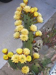 Succulent Gardening, Cacti And Succulents, Planting Succulents, Planting Flowers, Cactus Care, Cactus Flower, Flower Pots, Cactus Planta, Cactus Y Suculentas