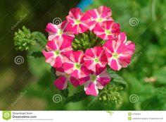 Verbena Verbena, Red And White, Garden, Flowers, Plants, Garten, Lawn And Garden, Gardens, Plant