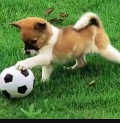 Puppies Playing Soccer Animal Sports League Puppies