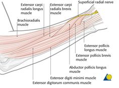 Forearm shaft - Approach - Safe zones for pin placement - AO Surgery Reference Forearm Anatomy, Radial Nerve, Surgery, Muscle, Muscles