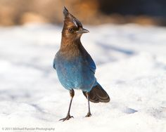 Stellar's Jay in the Snow by Michael Pancier Photography, Crater Lake National Park, Oregon