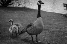 A family of geese.