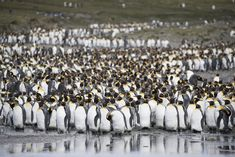 https://flic.kr/p/JAMLuv   South Georgia   South Georgia. King Penguins at Salisbury Plain.  For licensing see: www.gettyimages.co.uk/detail/photo/king-penguins-by-lagoo...