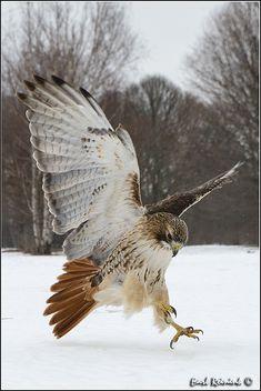 Birds ©: Red-tailed Hawk (by Earl Reinink) All Birds, Little Birds, Birds Of Prey, Hawk Pictures, Bird Pictures, Hawk Photos, Beautiful Birds, Animals Beautiful, Hawk Tattoo