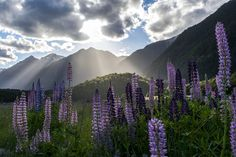 Lupines in bloom Milford Sound New Zealand (Photo credit to Aneta Foubikova) Beautiful Places To Visit, Cool Places To Visit, Lupine Flowers, Purple Flowers, Nature Photography, Travel Photography, Rainbow Photography, Landscape Photography, Milford Sound