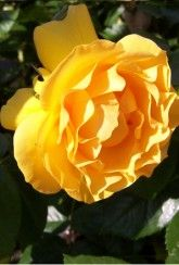 'Absolutely Fabulous' (Rose Of The Year 2010)-Bare root