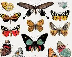 butterfly species chart - Google Search