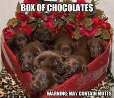 BOX OF CHOCOLATES  WARNING: MYA CONTAIN MUTTS    -chocolate Labrador puppies
