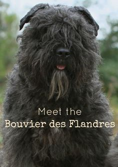 Meet the Bouvier des Flandres, a sweet large-breed hypoallergenic dog! Check out all the details about this big guy & decide if he& right for& The post Bouvier des Flandres Large Breed Hypoallergenic Dog appeared first on Gwen Howarth Dogs. Best Large Dog Breeds, Unusual Dog Breeds, Big Dog Breeds List, Huge Dogs, I Love Dogs, Small Puppies, Dogs And Puppies, Doggies, Dog Breeds That Dont Shed