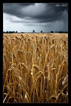 Wheat Field by Oliver1978, via Flickr