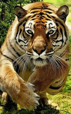 All Animals - Tiger - Pretty Cats, Beautiful Cats, Animals Beautiful, Pretty Kitty, Big Cats, Cats And Kittens, Grand Chat, Animals And Pets, Cute Animals