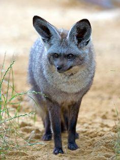 Bat-Eared Fox by sypix