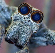 Dangerous Spiders in Africa: Ogre-faced Spider (Deinopidae)