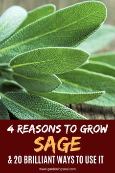 Reasons To Grow Sage & 20 Brilliant Ways To Use It Here's why sage deserves a place in every garden!Here's why sage deserves a place in every garden! Sage Herb, Sage Plant, Plant Leaves, Growing Herbs, Growing Vegetables, Growing Tomatoes, Sage Uses, Organic Gardening Tips, Vegetable Gardening
